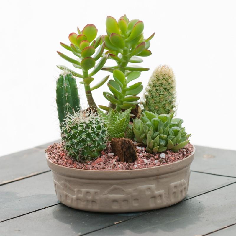sukulent-kaktus